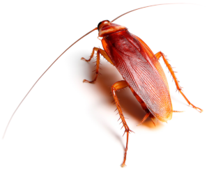 Cockroach Control in Faridabad