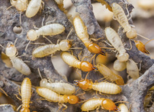Termite Treatment in Faridabad